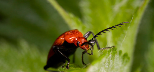 Cardinal Beetle looking over Leaf