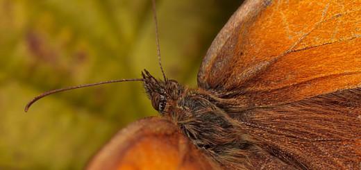 Gatekeeper - Pyronia tithonus - Closeup