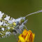 Orange Tip at Rest