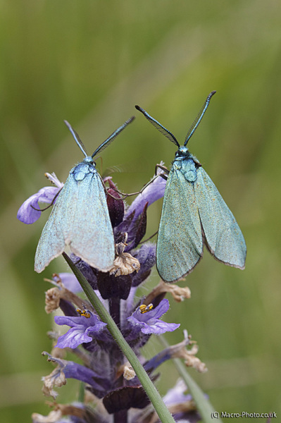 Blue Moths