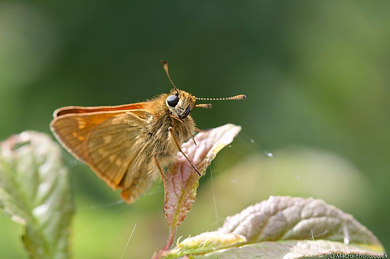 Large Skipper Cleaning itself.
