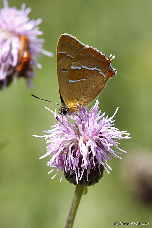 Brown Hairstreak - Thecla betulae