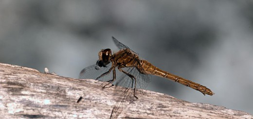 Female Common Darter in IR