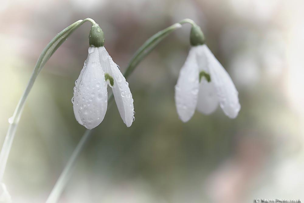 Snowdrop Memories