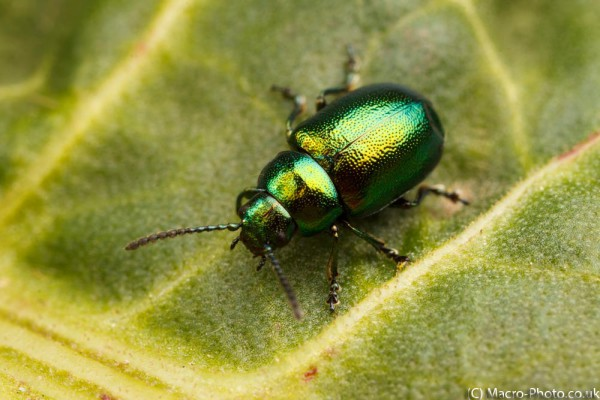 Dock Leaf Beetle - about 2x Magnification.