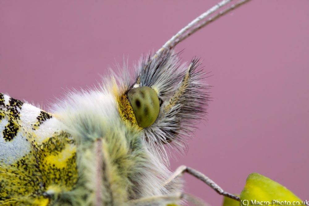 Male Orange Tip Butterfly's head.