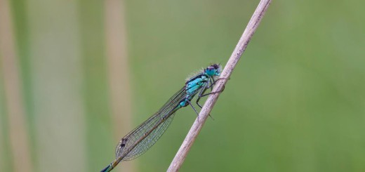 5 Image Stack of a Blue-tailed Damselfly.