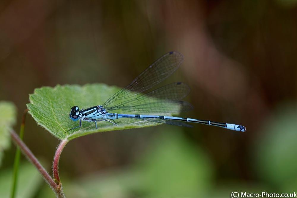 Azure Damslefly