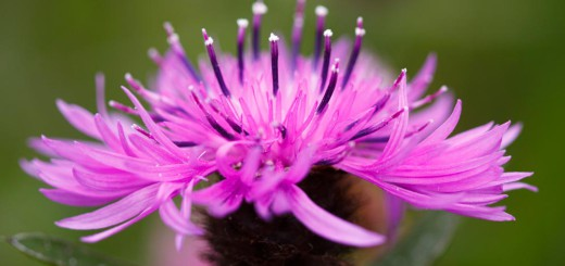 Knapweed flower head
