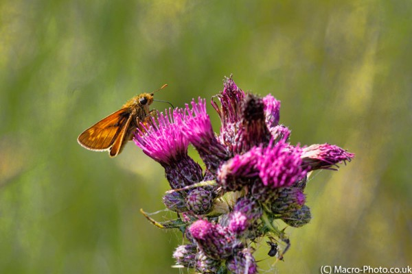 Skipper on Thistle.