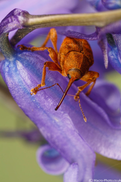 Weevil looking out of bluebells.