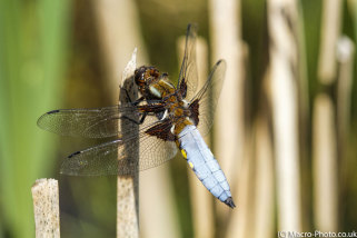 Broad-bodied Chaser Video