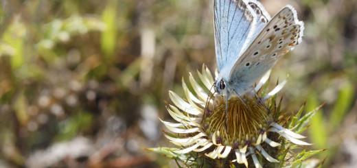 Chalkhill blue on Thistle flower