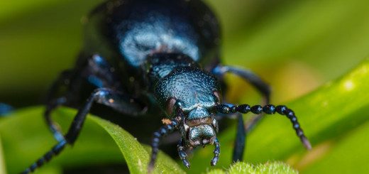 Meloe violaceus(4) (Violet Oil Beetle)