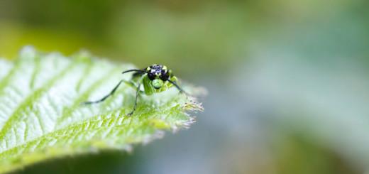 Sawfly Face off - Tenthredo mesomela