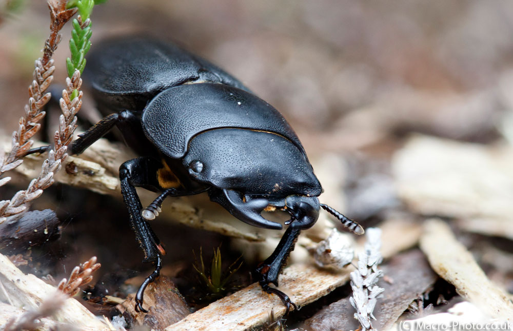 11 Shot Stack of a Lesser Stag Beetle