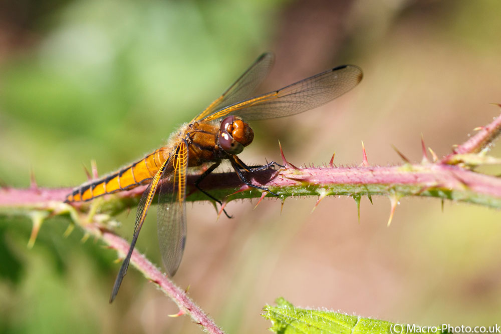 Look into my eyes (Scarce Chaser)