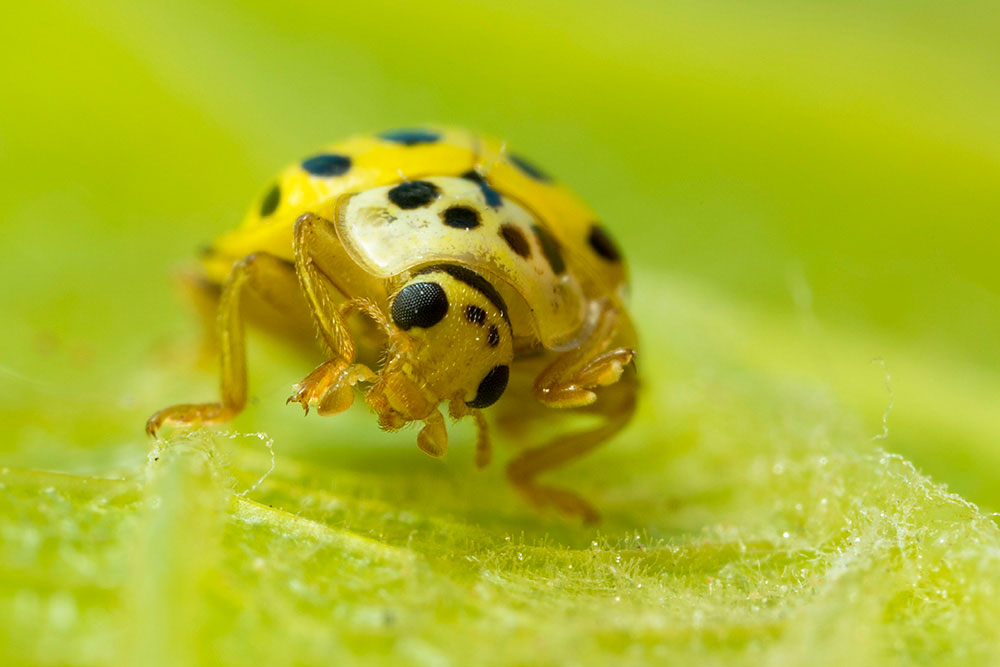 22 Spot Ladybird by Gordon Zammit (5)