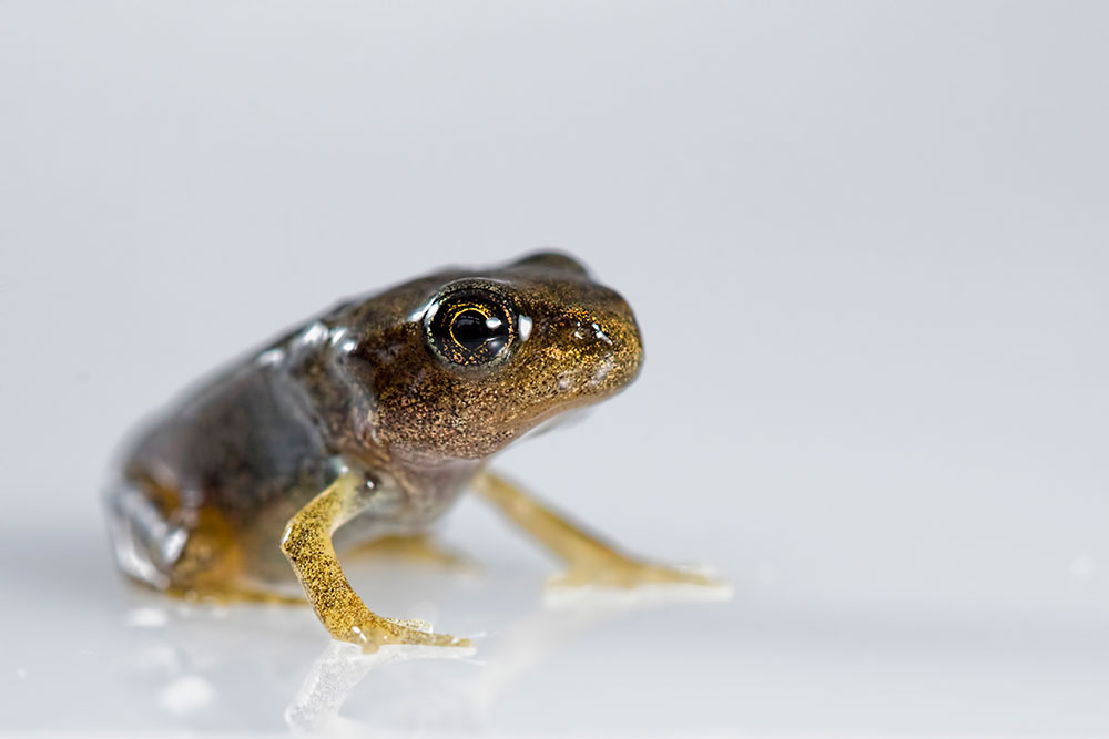 Froglet on whitebox (2)