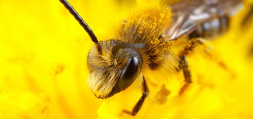 Minor Bee