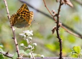 Butterflies at Pignal (New Forest)