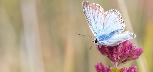 Chalkhill Blue posing on flower
