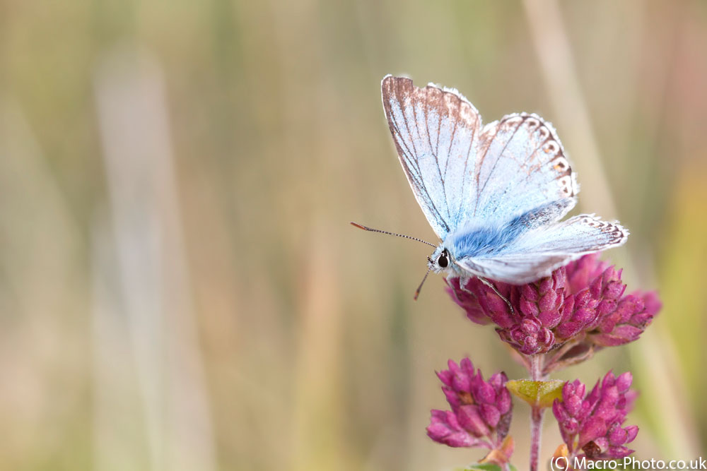 Chalkhill Blue posing on flower