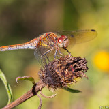 Common Darter Rework