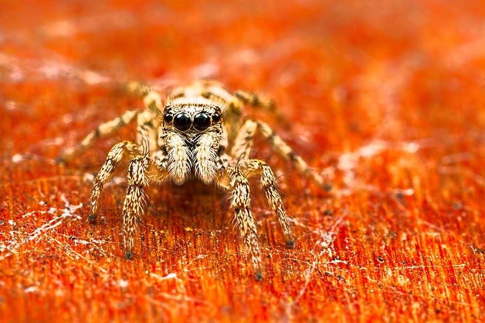 Jumping Spider. MT-24ex Flash