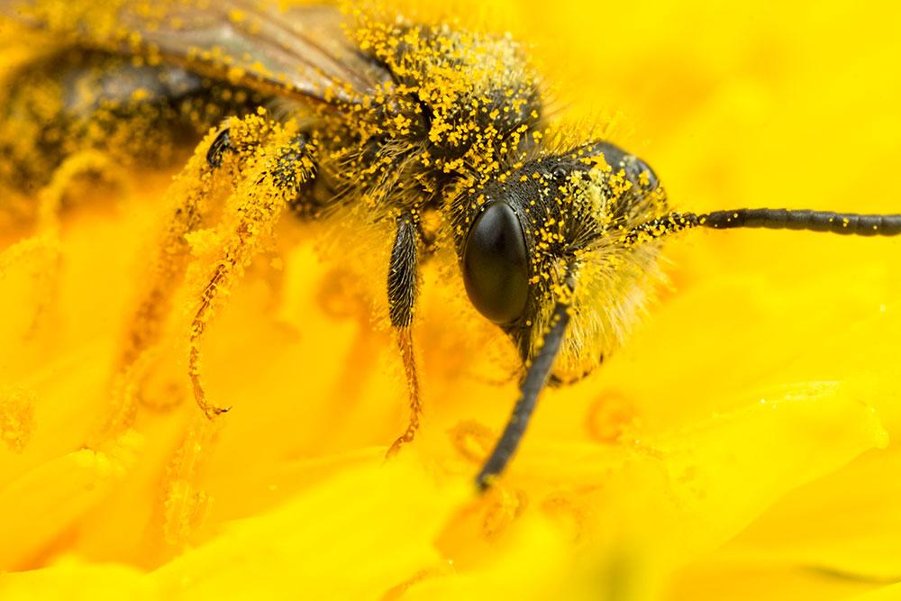 Bee in Yellow Flower 7