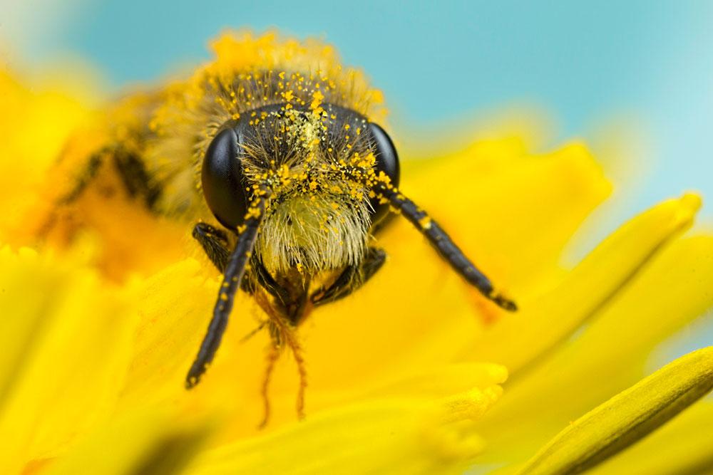 Minor Bee on Yellow Flower