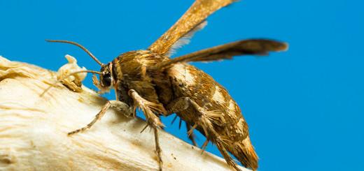 Possible Clearwing Moth - by Gordon Zammit (3)