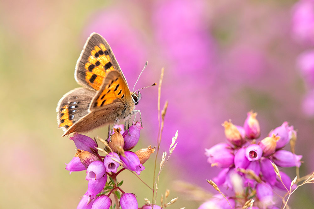 Small Copper on Heather