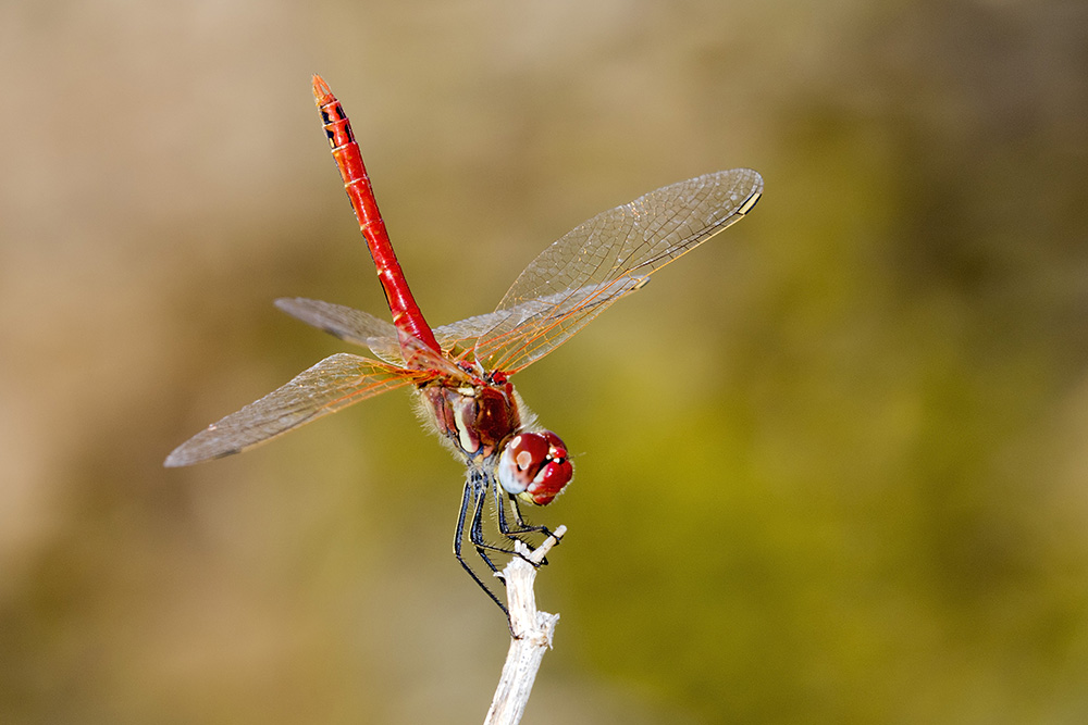 Red Dragonfly by Gordon Zammit (1)
