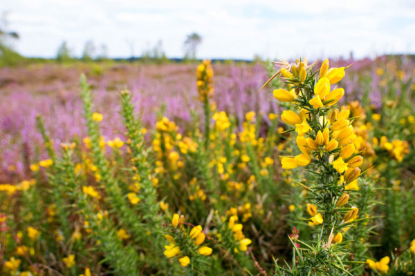 Gorse and Heather Wide Angle Macro