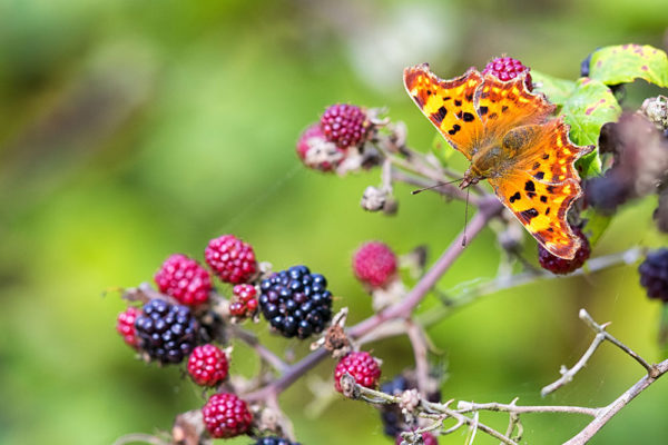 Comma and Blackberries