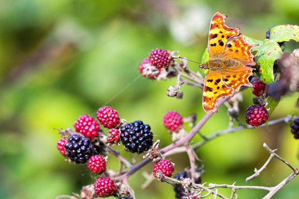 Butterfly on the Blackberries