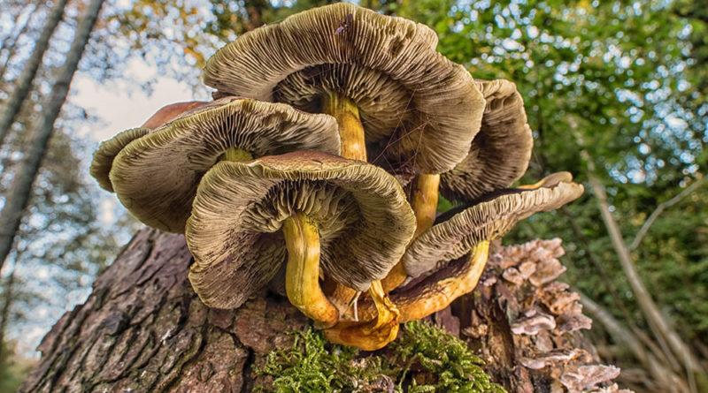 Fungi Gills