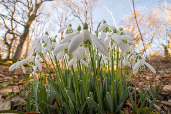 Snowdrops Wide Angle Daylight