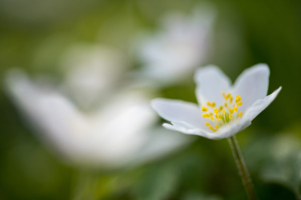 Wide Wood Anenomes
