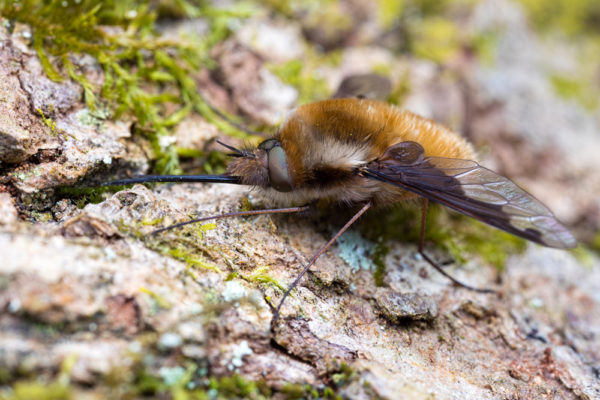 Beefly (Bombylius major)