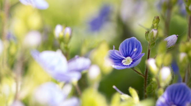 Bird's Eye Speedwell meadow